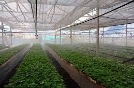 Kĩ thuật trồng dưa lưới trong nhà màng